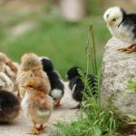 3 Reasons Why Chicken Coop Plans Are Essential For Construction