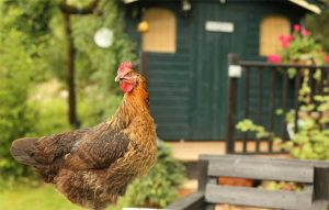 Thinking About Building A Chicken Coop