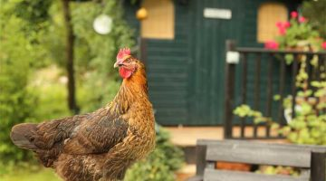 Thinking About Building Your Own Chicken Coop!