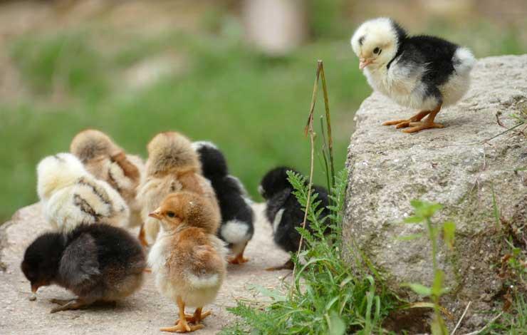 3 Books For Raising Chickens